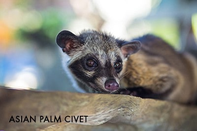 Asian Palm Civet - Kopi Luwak Coffee